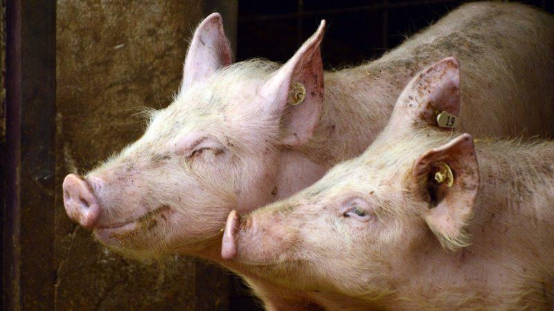 Prawidłowe żywienie zwierząt hodowlanych jest bardzo ważne