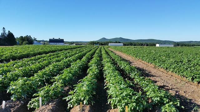Oset w uprawie ziemniaka